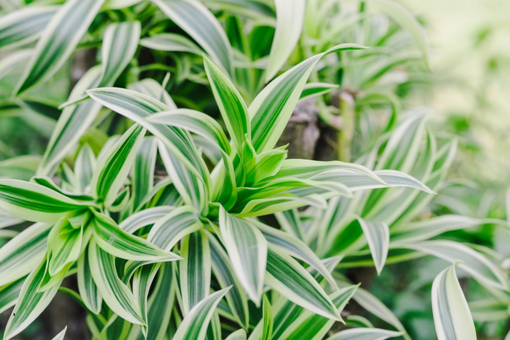 Dracaena Background, The leaves are beautiful detail.
