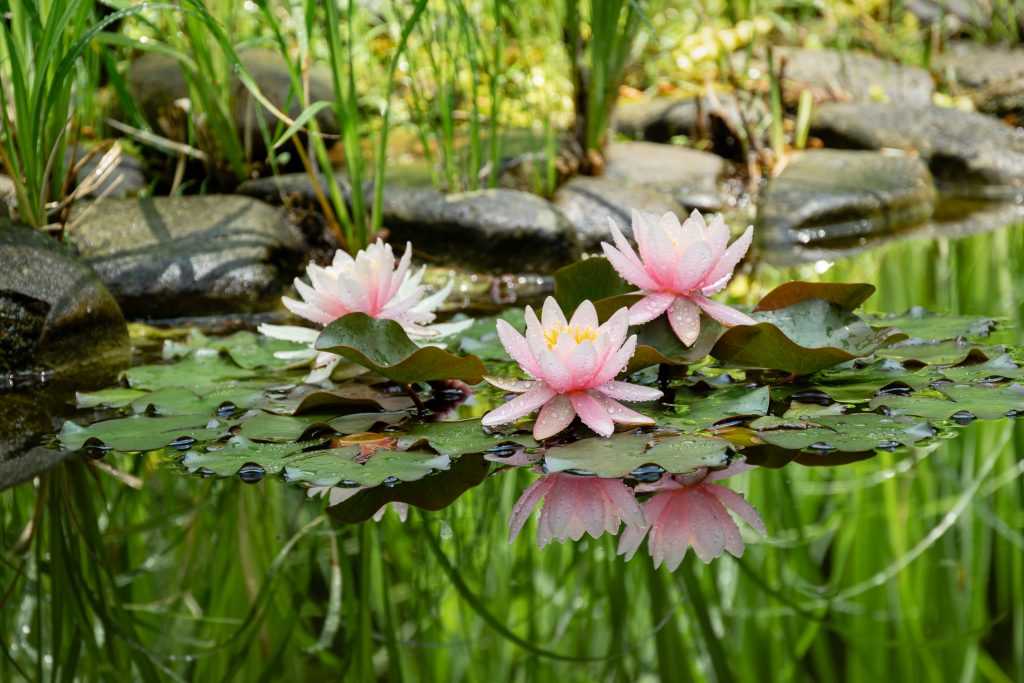 Magic of nature with three pink water lilies or lotus flowers Marliacea Rosea after rain. Nympheas with water drops are reflected in dark pond water with beautiful bright green plants
