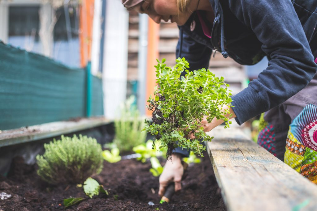Urban gardening: Woman is planting fresh vegetables and herbs on fruitful soil in the own garden, raised bed.