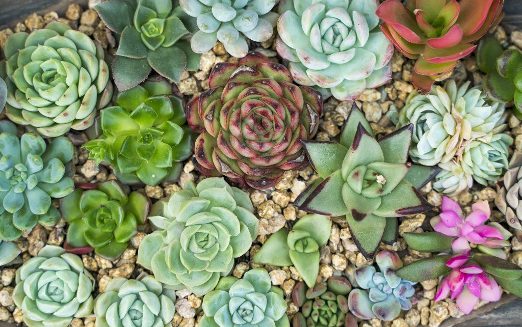 Miniatur-Sukkulenten im Garten
