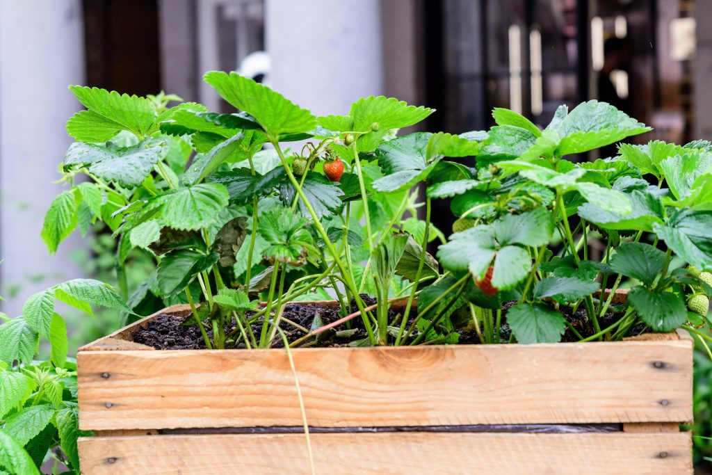 Close up of raw red strawberries in a garden wooden box in a raining day, with small waterdrops on green leaves in an organic garden, beautiful outdoor natural background, urban gardening