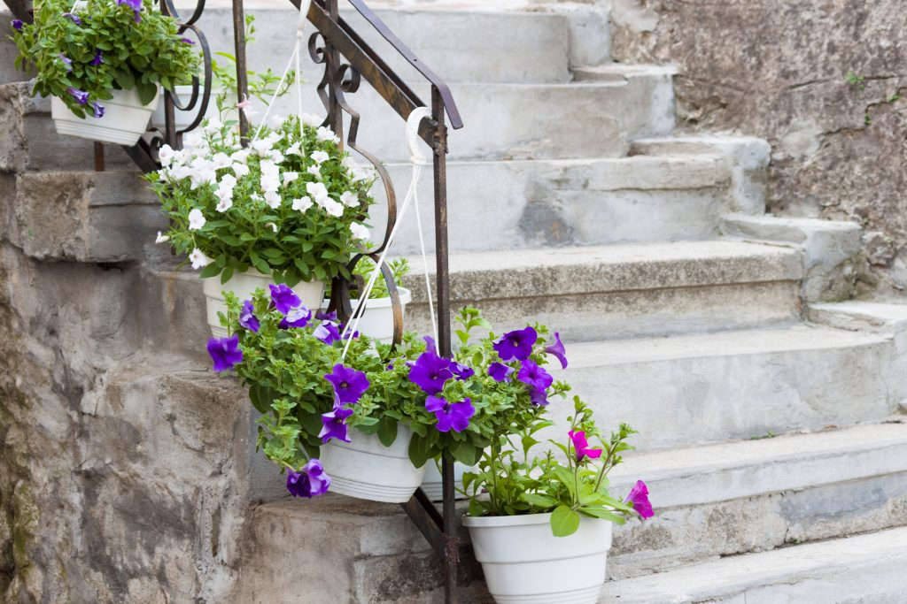 Ancient stone steps with flower pots with pink, white, violet petunias.