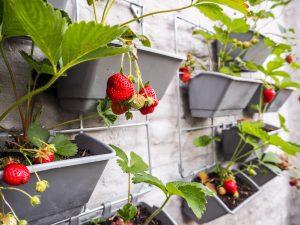 strawberries in a garden