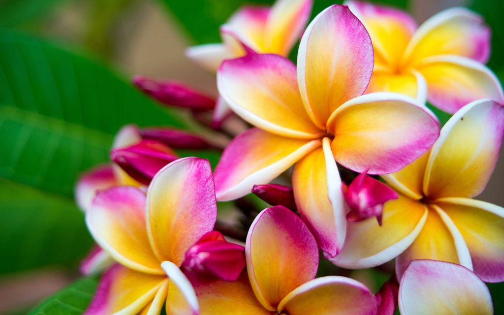 Plumeria flower pink yellow and white frangipani tropical flower, plumeria flower blooming on tree, spa flower