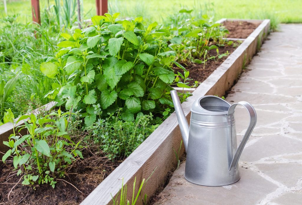Small herb garden and metal watering can. Garden bed with spearmint and greenery.