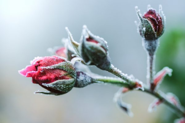 10 Most Hardy Winter Rose To Grow