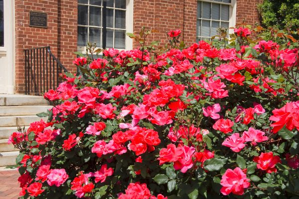 20 Best Knockout Roses To Make Your Garden Outstanding