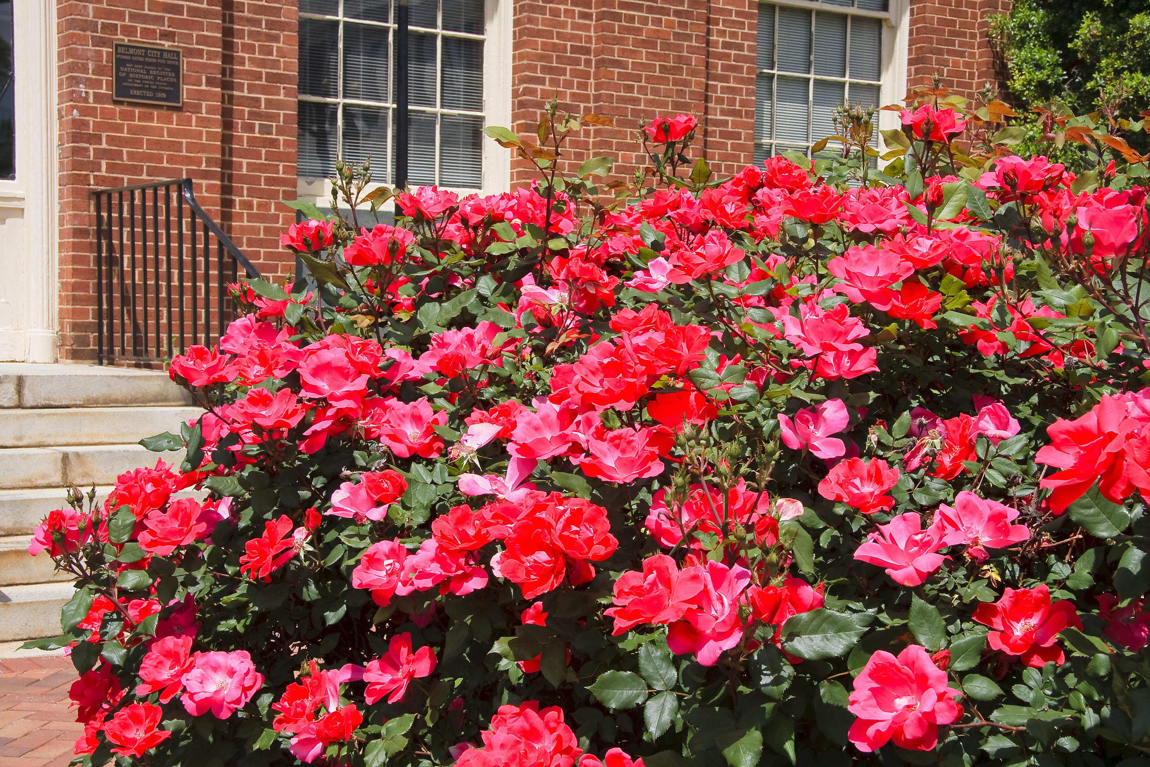 pink roses symbolize