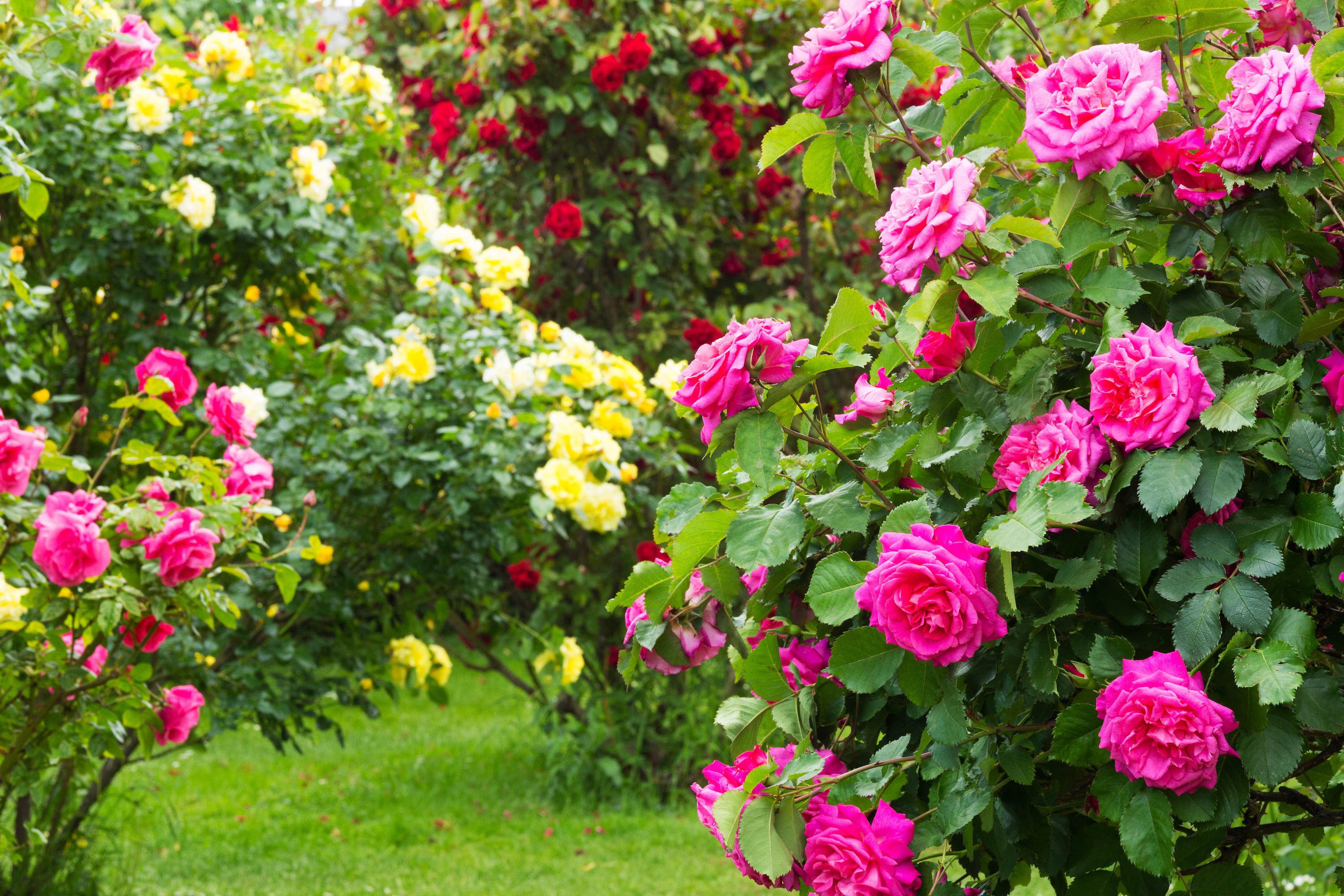 caring for rose bushes