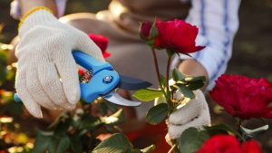 Pruning Roses: 15 Smart Tips You Must Know