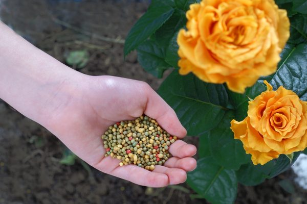 25 Best Rose Fertilizer For Healthy Blooms